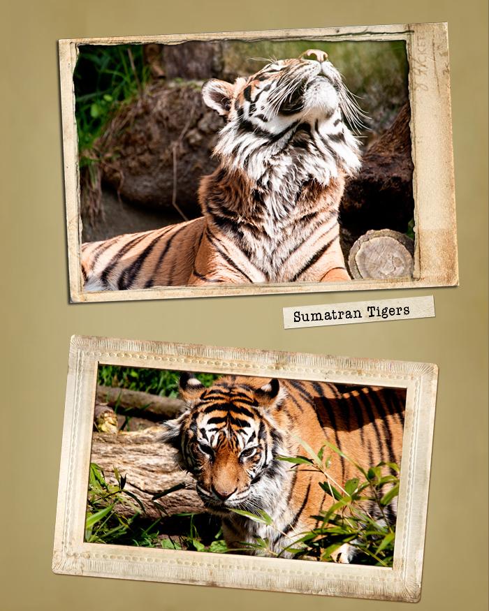 !Tiger